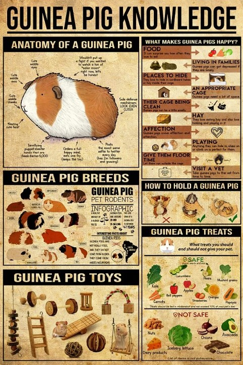 Guinea pig knowledge poster